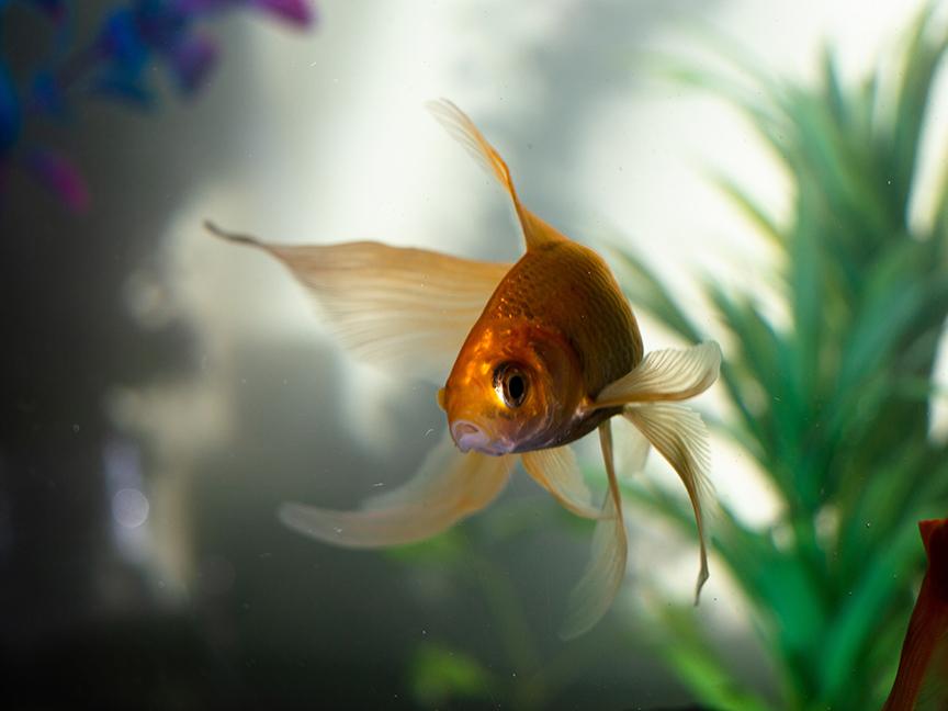 goldfish in an aquarium.