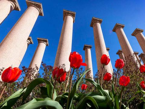 Spring tulips in front of columns