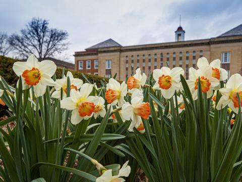 Campus daffodils