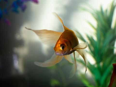 goldfish in an aquarium.